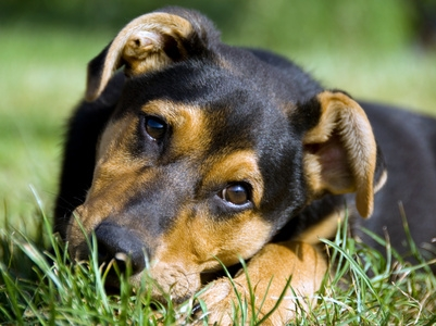 hip pain in dogs